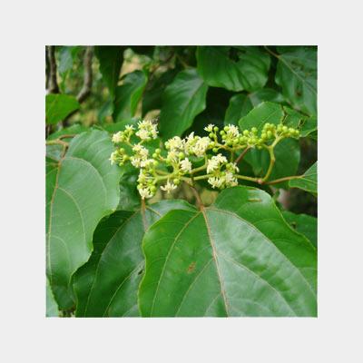напиток Тяньши - плоды конфетного дерева фото