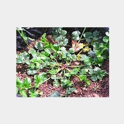 Pimpinella Alpina фото