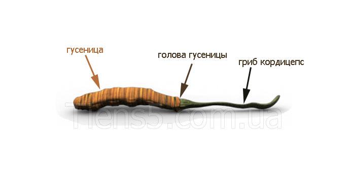 Свойства кордицепса фото