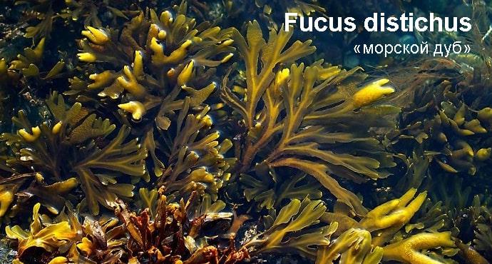 Fucus distichus «морской дуб», «царь водоросль», «морской виноград» photo - tiens5.com.ua