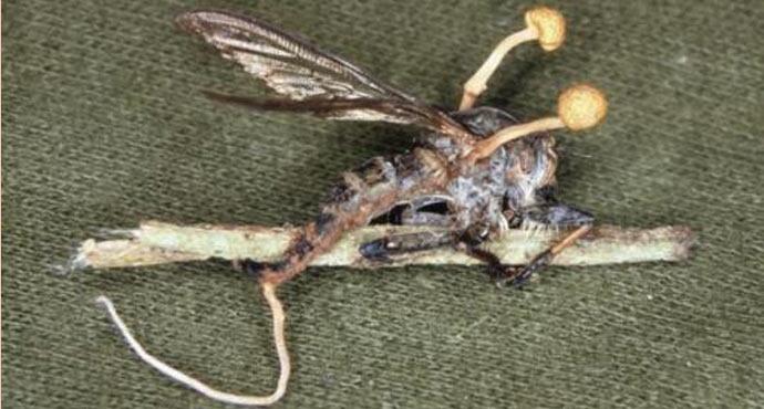 Гриб кордицепс на насекомом фото