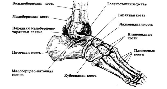 Голеностопный сустав и суставы стопы фото